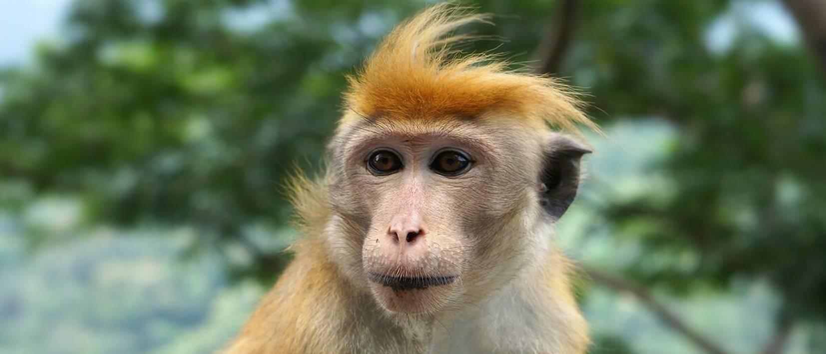 monkey's face, orange fur